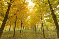 Autumn. Morning mist has not yet dispersed, golden ginkgo leaves fall on the grass, green and yellow, very nice Stock Photo