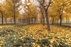 Autumn. Morning mist has not yet dispersed, golden ginkgo leaves fall on the grass, green and yellow, very nice royalty free stock photos