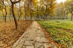 Autumn. Morning mist has not yet dispersed, golden ginkgo leaves fall on the grass, green and yellow, very nice Royalty Free Stock Photography