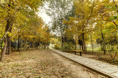 Autumn. Morning mist has not yet dispersed, golden ginkgo leaves fall on the grass, green and yellow, very nice Stock Photos
