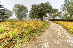 Autumn. Morning mist has not yet dispersed, golden ginkgo leaves fall on the grass, green and yellow, very nice Royalty Free Stock Image