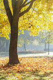 Autumn morning in park with maple trees Stock Photos