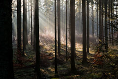 Autumn morning in Rold Skov Denmark. Sunbeams pour thrugh the naked trees on a misty november morning Stock Images