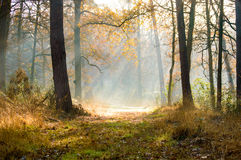 Autumn morning sun in a forest. Morning sunrays in a autumn colored forest Stock Images