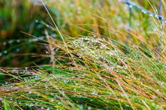 Autumn morning with water drops. Dew on the autumn morning on plants in beautiful landscape at the famous Cliffs of Moher and  OBrien`s Tower in Co. Clare Royalty Free Stock Images