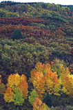 Autumn mosaic. Scrub oak hillside in subtle shades of color rising above small cluster of aspens in full autumn explosion of color Stock Photography