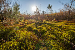 Autumn moss closeup nature background Royalty Free Stock Images