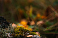Autumn moss Royalty Free Stock Photos