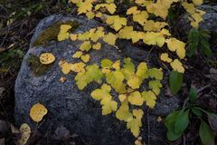 Autumn Moss and Leaves. A picture with some Colorado mountain autumn leaves on a weathered stone Stock Photo