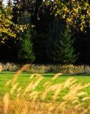 Autumn motif spruce. Illustrations,autumn landscape stock images