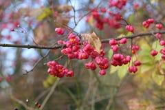 Autumn motifs / Euonymus. / Shrub Blooming in Autumn Stock Photos