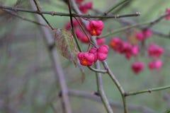Autumn motifs / Euonymus. / Shrub Blooming in Autumn Royalty Free Stock Image