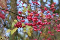 Autumn motifs / Euonymus. / Shrub Blooming in Autumn Royalty Free Stock Photo