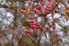 Autumn motifs / Euonymus. / Shrub Blooming in Autumn Stock Images