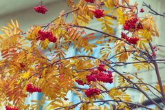 Autumn mountain ash with yellow leaves and red berries. Autumn melancholy. Autumn mountain ash with yellow leaves and red berries outside window of house, scene Royalty Free Stock Image