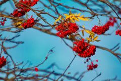 Autumn mountain ash with yellow leaves and red berries. Autumn mood, autumn melancholy. Autumn mountain ash with yellow leaves and red berries on background of stock image