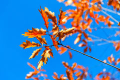 Autumn Mountain chestnut against the blue sky Royalty Free Stock Photos