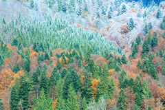 Autumn mountain forest. Sunny autumn mountain forest and first autumn frost on trees top (on mountainside Royalty Free Stock Photos