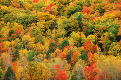 Autumn mountain forest with colorful trees Stock Image