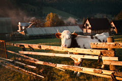 Autumn mountain landscape with a cow Stock Photo