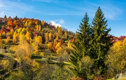 Autumn in mountainous rural area. Two huge spruce trees in front of a hill with forest in yellow foliage Stock Photography