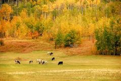 Autumn in the mountains. Cows feeding in a pasture in the mountains in the Autumn foliage Stock Image