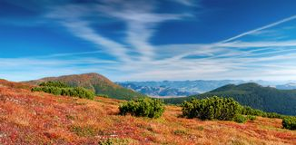 Autumn in mountains. Red leaves of the rhododendron growing in mountains. Carpathians, Ukraine Royalty Free Stock Photography