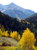 Autumn in the Mountains. Pine and changing Aspen trees at high elevation in the Rocky Mountains royalty free stock image