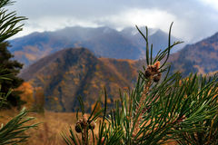 Autumn in the mountains. cones on a pine tree on a background of autumn mountains and cloudy sky. green, yellow and blue Stock Images