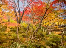 Autumn multi-color tree with green moss under blue sky in Kyoto. Japan Stock Photo