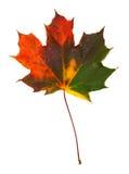 Autumn Multicolored Maple Leaf Photographie stock