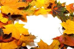 Autumn multicolored maple leafs Stock Image