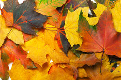 Autumn multicolored maple leafs Stock Photography