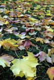 Autumn multicolored soft maple leaves. Fall yellow, purple and orange maple leaves stock photography
