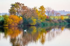 Autumn multicolored trees are reflected in the river on which the white swan floats_. Autumn multicolored trees are reflected in the river on which the white stock images