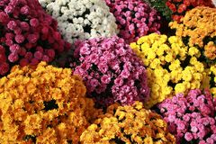 Autumn mum colorful flowers Stock Image