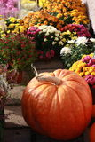 Autumn mum colorful flowers pumpkin Stock Image