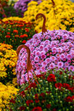 Autumn Mum Flower in Full Bloom. Flowering Mumms at Farmer's Market Royalty Free Stock Photography