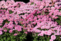 Autumn mum flowers Stock Photos