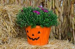 Autumn mum plant in pumpkin basket Stock Image