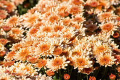 Autumn Mums Stock Images