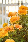 Autumn Mums. Blooming flowers in a garden Stock Photos
