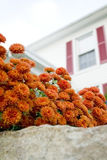 Autumn Mums Royalty Free Stock Photography