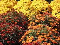 Autumn mums. Bright red, orange and yellow autumn mums Stock Photography