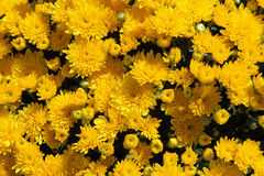 Autumn Mums. Background close up stock photography