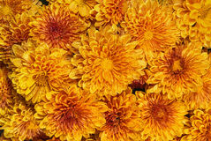 Autumn Mums or Chrysanthemums in bloom Stock Images