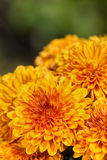 Autumn Mums or Chrysanthemums in bloom Royalty Free Stock Photos