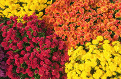 Autumn Mums or Chrysanthemums flower background Stock Photos