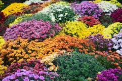 Autumn mums Stock Photo