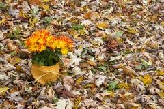 Autumn Mums i gul säckvävkruka fotografering för bildbyråer